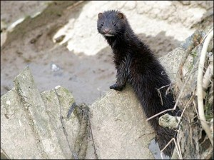 Pleasant Lake Mink